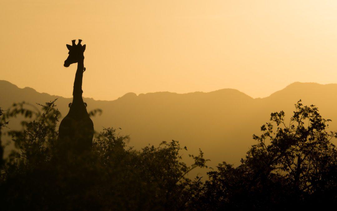 Żyrafa odważna